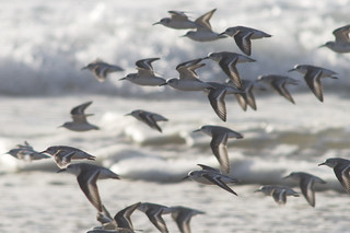 Sanderlings | by 9brandon