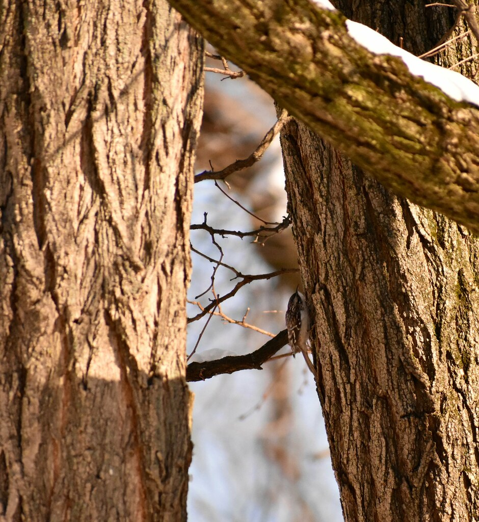 Christmas Bird Count | Brown creeper | TTF Watershed | Flickr
