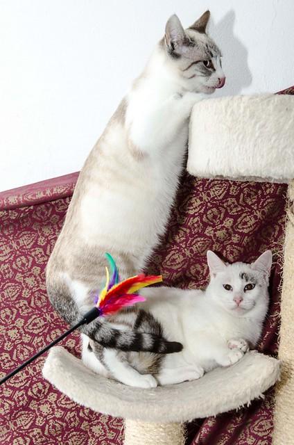 Cuca, gata siamesa tabby tímida y dulce esterilizada, nacida en Agosto´17, en adopción. Valencia. ADOPTADA. 38659704804_314c1a68e2_z
