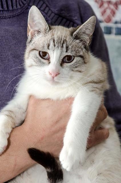 Cuca, gata siamesa tabby tímida y dulce esterilizada, nacida en Agosto´17, en adopción. Valencia. ADOPTADA. 38659707034_b55202246a_z