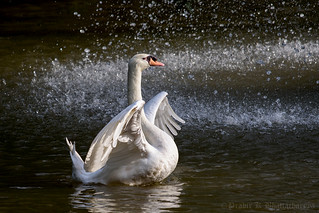 Swan | by pkbhat_20032003