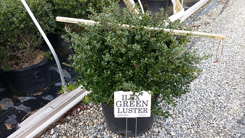 Ilex crenata Green Lustre 7 gal. 24-30 | by Johnson Farms