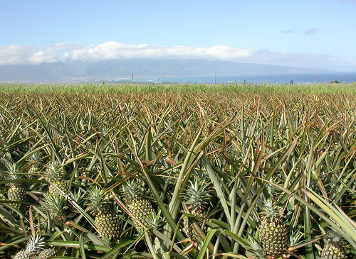 A field of pineapples in Maui, Hawaii