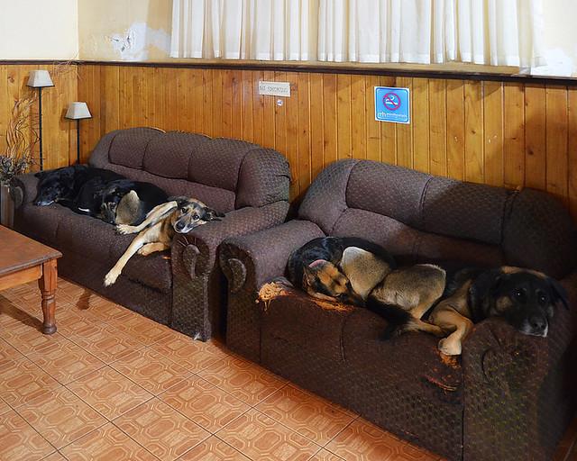 Pastores alemanes en sofás en mi alojamiento de Iguazú