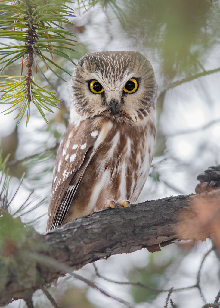 Petite Nyctale Aegolius Acadicus Northern Saw Whet Owl Flickr
