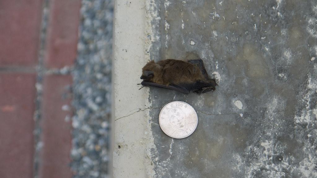 風力發電機座下的東亞家蝠屍體