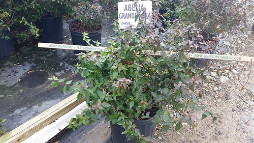 Abelia grandiflora 3 gal 15-18 | by Johnson Farms