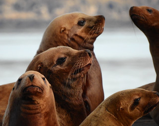 december 15 2017 10:52 - Steller*s Sea Lions | by boonibarb