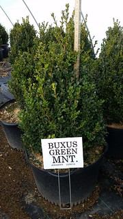 Buxus Green Mt. cone 10 gal. 24-30 | by Johnson Farms