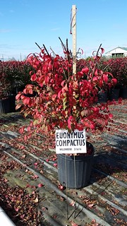 Euonymus alatus Compactus 3 gal 18-24 | by Johnson Farms