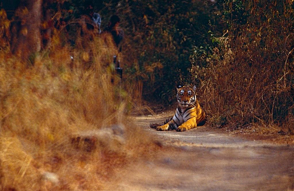 野生印度虎。圖片來源:CC BY-SA 2.0