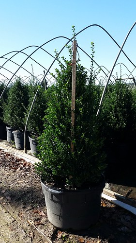 Ilex crenata Steeds 10 gal 30-36 | by Johnson Farms