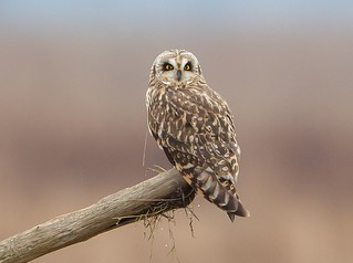 stareowl | by N.V.M.