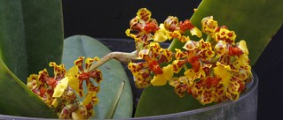 Oncidium nanum | by will.pfennig