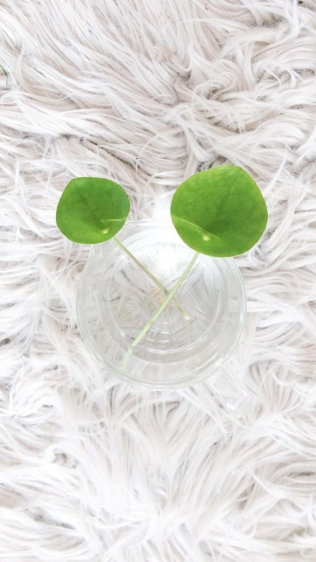 pilea leaves in glass jar