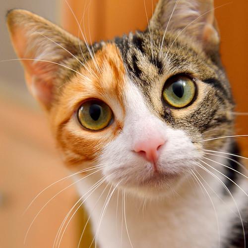 Freya, guapísima y activa gata tricolor jaspeada tabby esterilizada nacida en Mayo´16 en adopción. Valencia. 39054476574_5ee27187e4