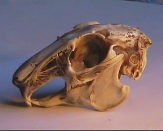 cranio di coniglio