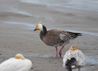 Snow Goose (Blue Morph) | by Neal D