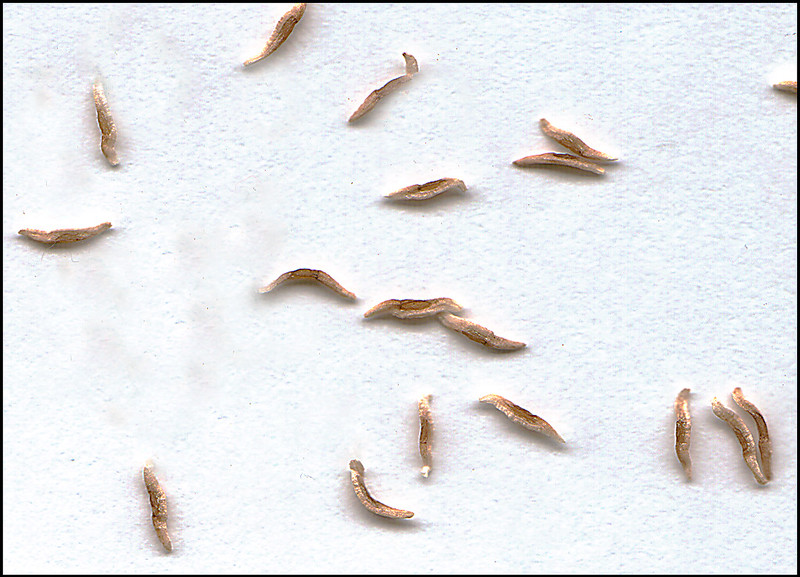 Winged seeds of Helonias bullata