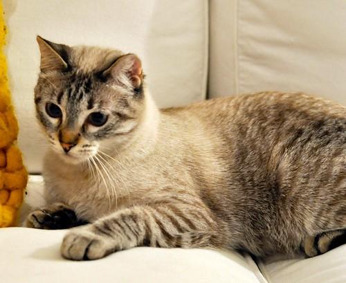 Mambo, gato siamés tabby extrovertido y bueno esterilizado, nacido en Febrero´17, en adopción. Valencia. ADOPTADO. 40200124771_e08bd6ac83