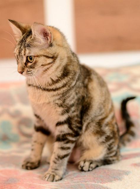 Sahara, gatita parda con toques naranja preciosa y mimosona esterilizada, nacida en Agosto´17 en adopción. Valencia. ADOPTADA.  40466694201_36486f7d46_z