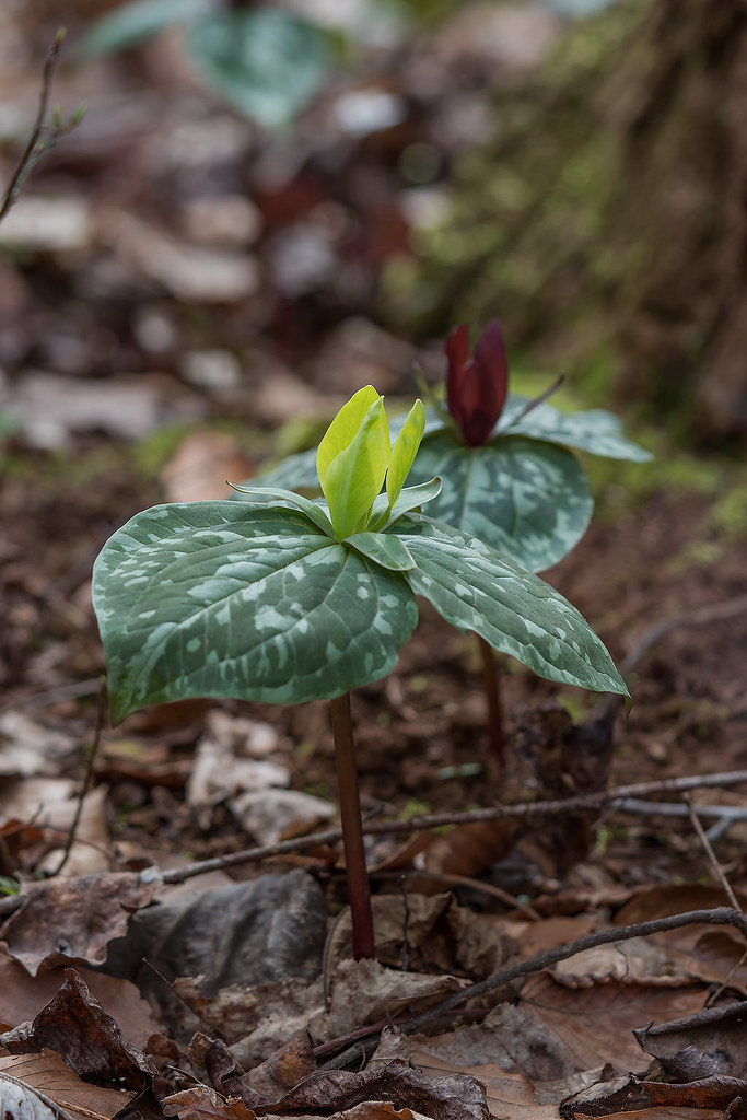 Two color forms of Trillium cuneatum growing side-by-side