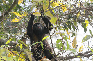 Howler Monkey | by kavpro
