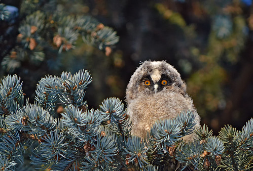 27.2.2018. The Continuation of a story about the little owl. Long-eared owl (nestling). The sweetest owl ever!!! 💕 | by L.Lahtinen (nature photography)