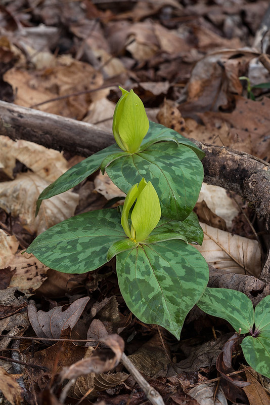 Trillium cuneatum - yellow color form