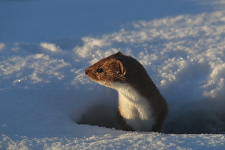 Weasel | by rob_nelson
