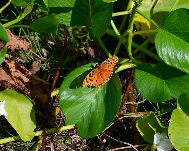 Mariposas tropicales en Cayo Levisa