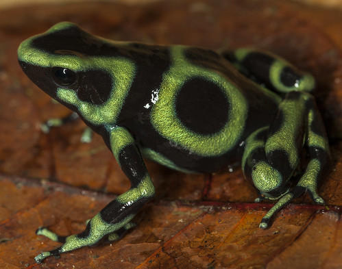 Green-and-Black Poison Frog (Dendrobates auratus) | by Hunter Meakin
