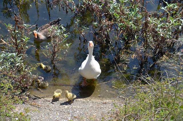 Duck, Agia Lake, Crete