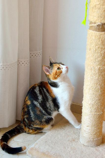 Freya, guapísima y activa gata tricolor jaspeada tabby esterilizada nacida en Mayo´16 en adopción. Valencia. 39732251912_6e381d6d16_z