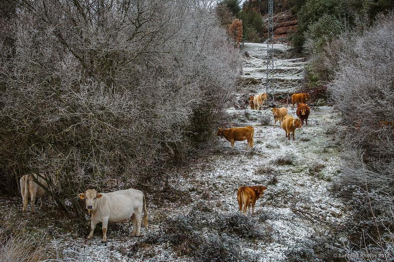 Vacas cerca de Sant Jaume de Frontanyà