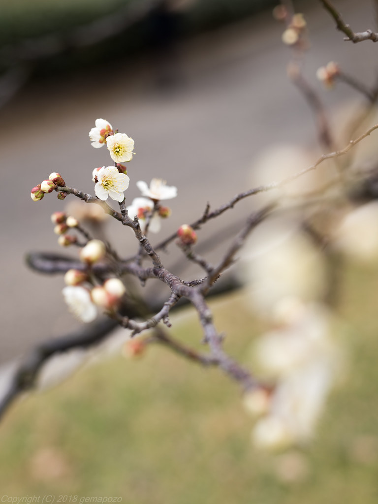 White Japanese Apricot Blossom Now It Is A Season For Jap Flickr