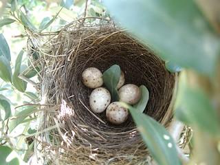 nido di capinero con uova