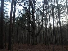 Sugar Hill Mining Camp - Landmark Tree