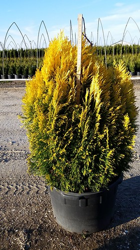 Thuja Forever Goldy 10 gal 30-36 | by Johnson Farms