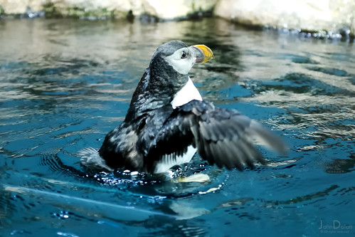 puffin bathing frenzy | loro parque | tenerife | by John FotoHouse