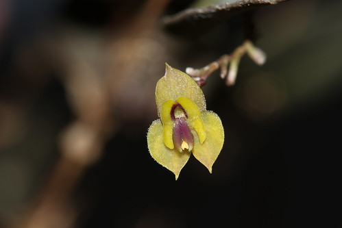 Lepanthes ortiziana* | by F.K. Pictures