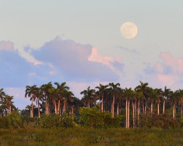 Súper luna sobre las Palmeras de Pinar del Rio antes de subir al ferry a Cayo Levisa
