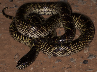 Desert Kingsnake (Lampropeltis getula splendida) | by Hunter Meakin