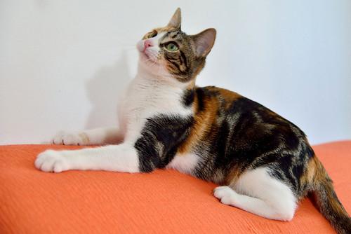 Freya, guapísima y activa gata tricolor jaspeada tabby esterilizada nacida en Mayo´16 en adopción. Valencia. 39764221041_d832ddbee8