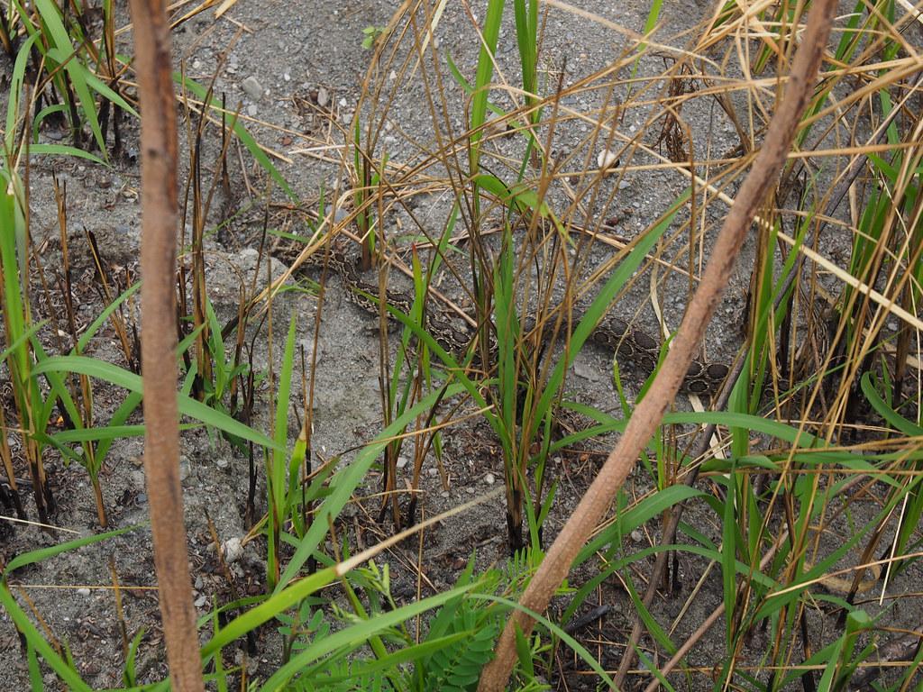 鎖鍊蛇常見於知本濕地及周邊環境。圖片來源:粱珆碩