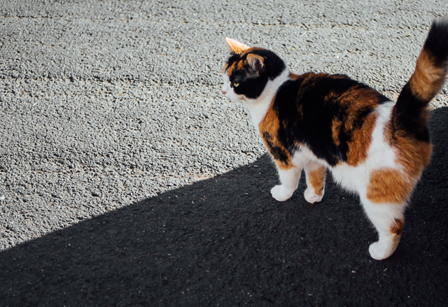 tortoiseshell cat in shadow