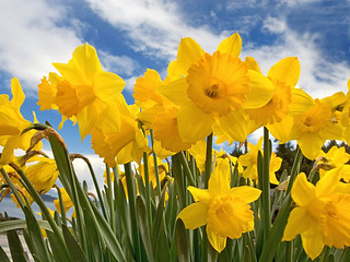 Daffodils | by Wadhurst Brass Band