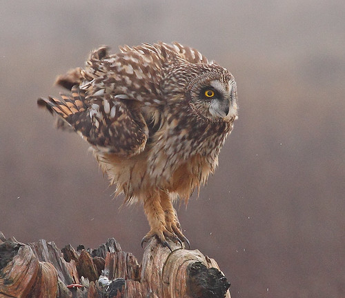 Short-eared Owl shaking | by Rob -Alexander