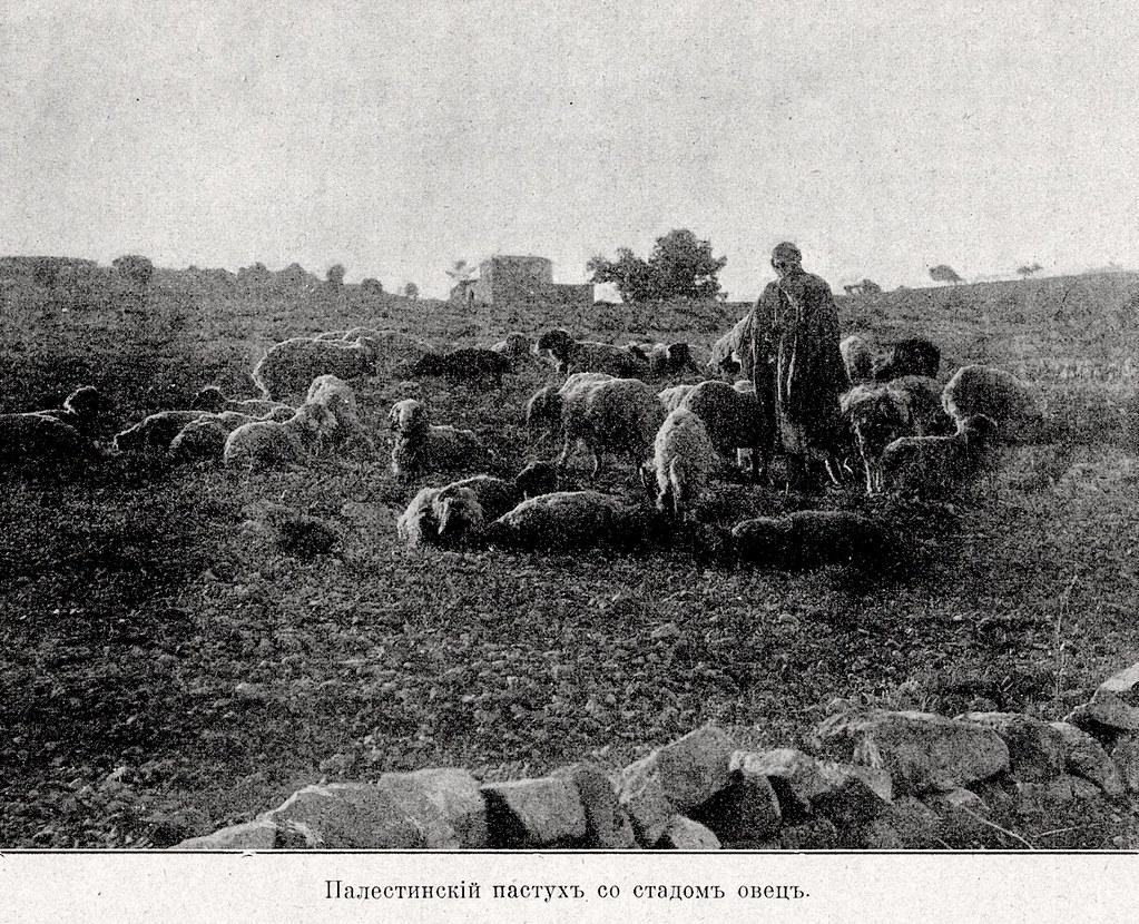 Изображение 29: Палестинский пастух со стадом овец.