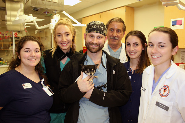 Luna, a three-month-old, double-coated long-hair Chihuahua, and her surgery team